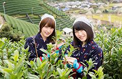 和束町茶摘み体験