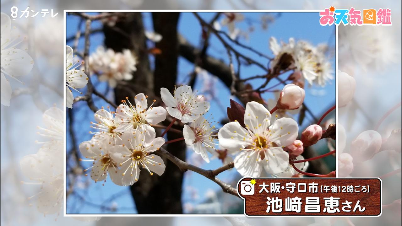 「早咲きのサクラ?」(大阪・守口市)