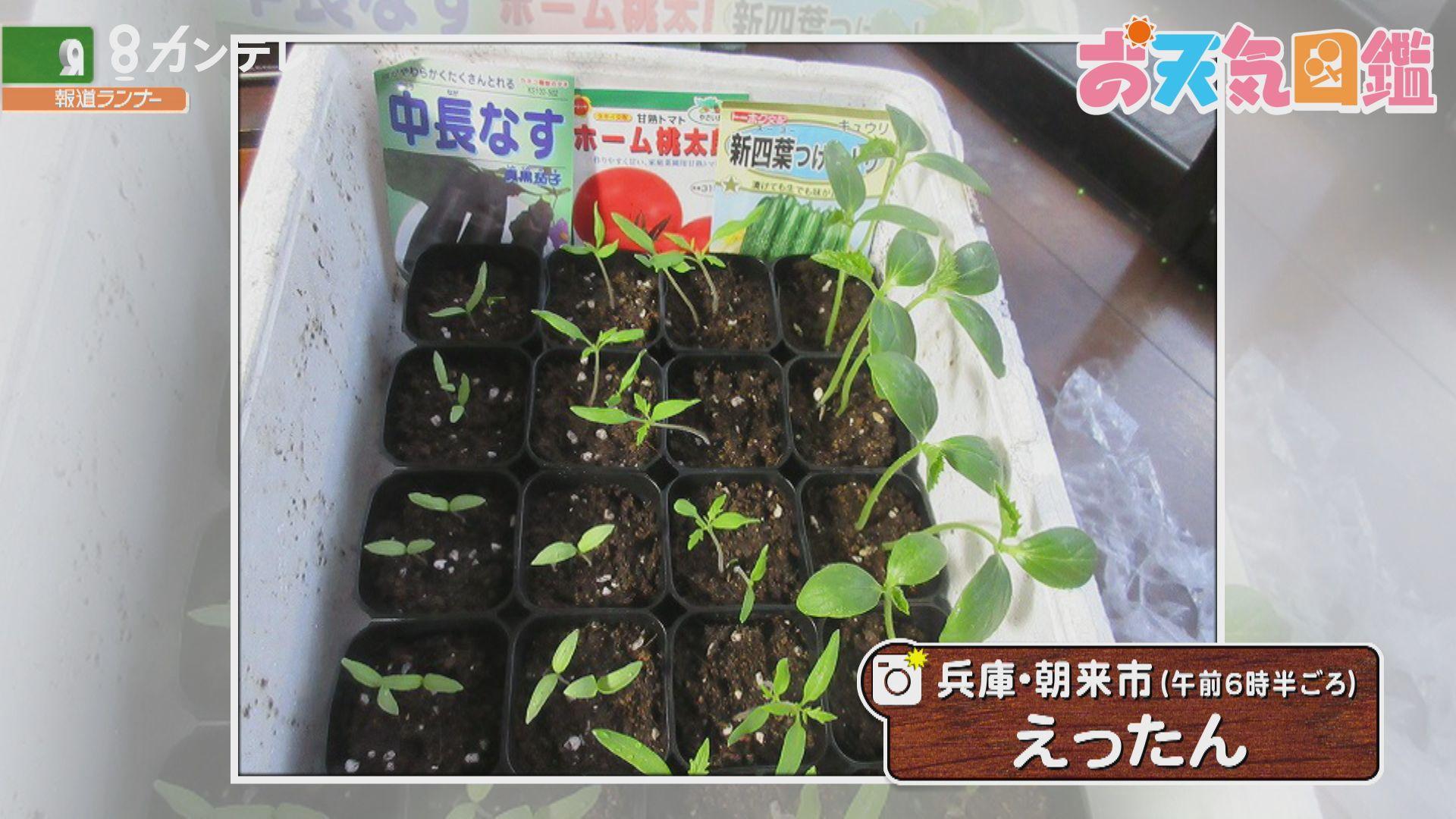 「成長が待ち遠しい!夏野菜の苗」(兵庫・朝来市)
