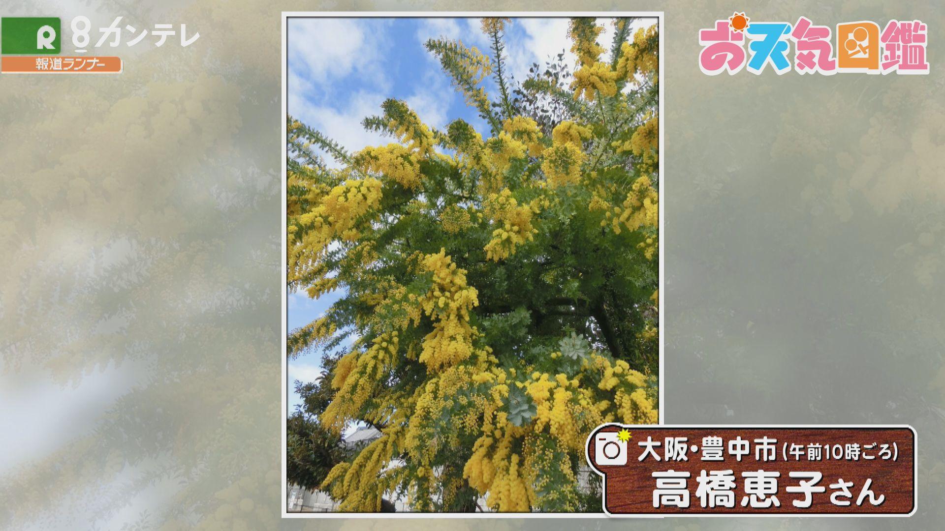 「ミモザの花に…うっとり」(大阪・豊中市)