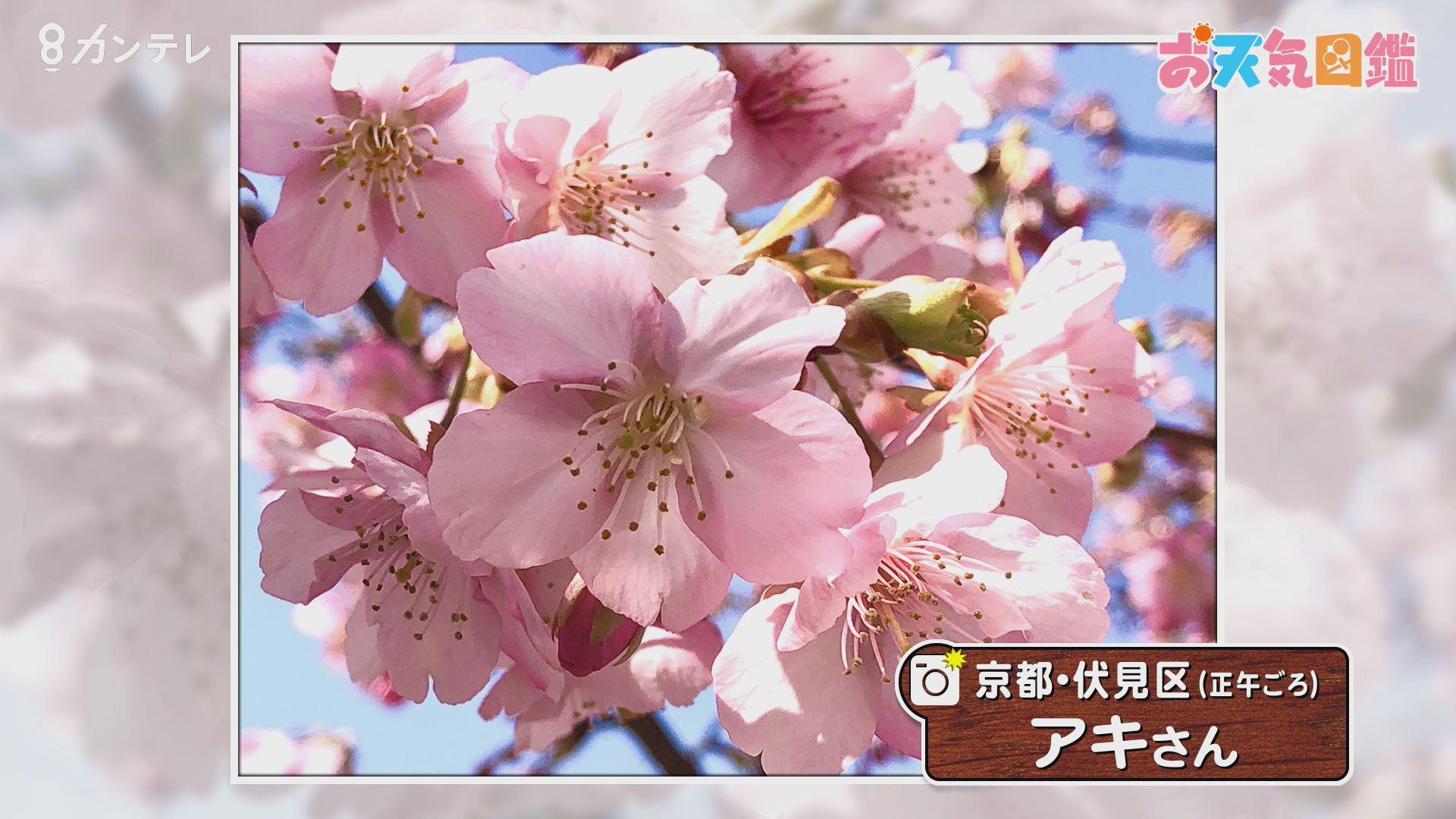 「早くも満開!河津桜」(京都市)