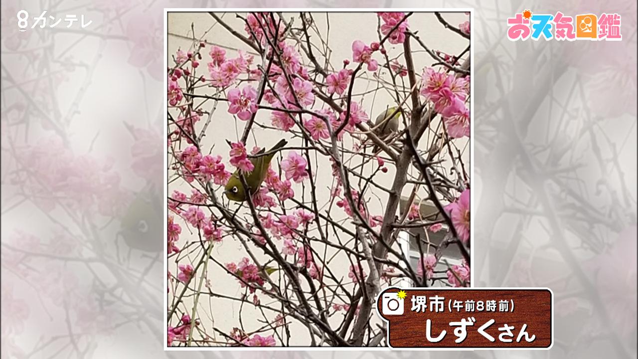 「スズメ?いやいやメジロです」(堺市)
