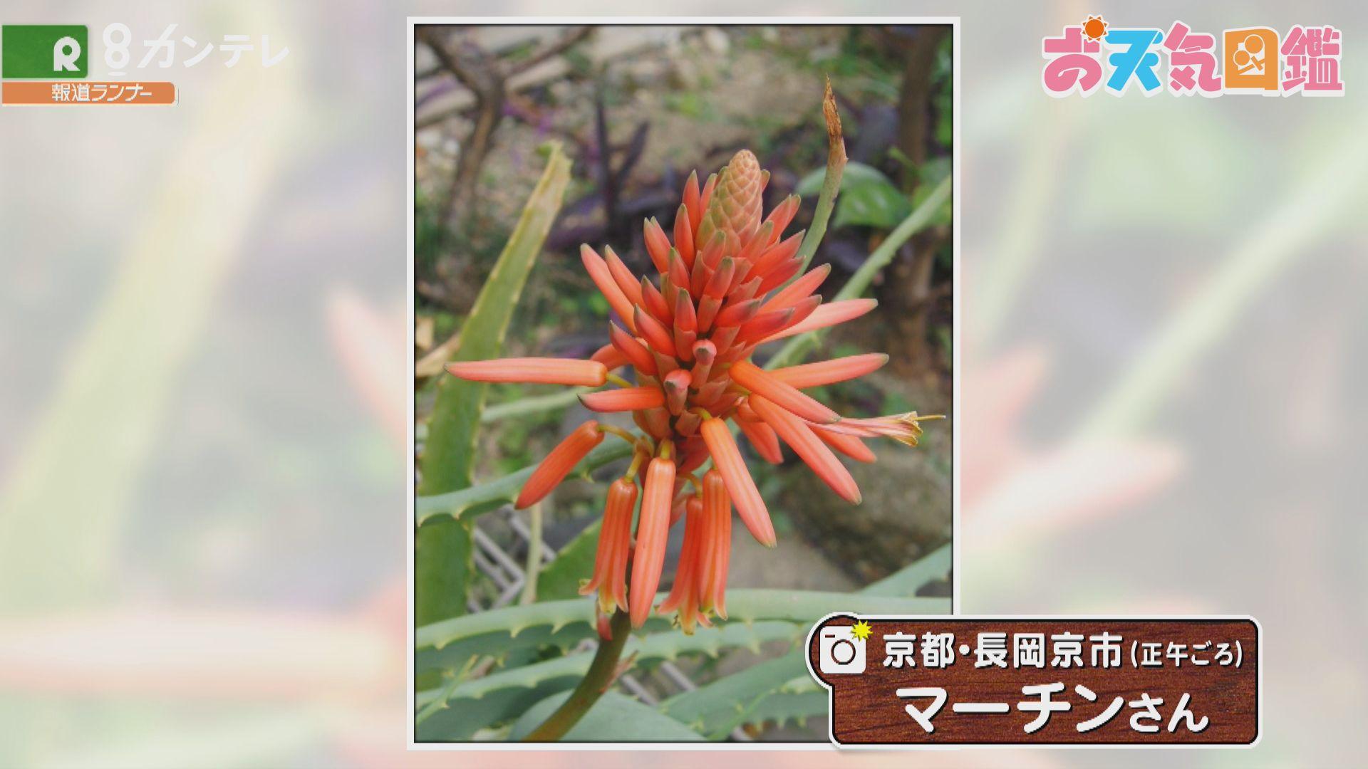 「珍しいアロエの花が我が家で」(京都・長岡京市)