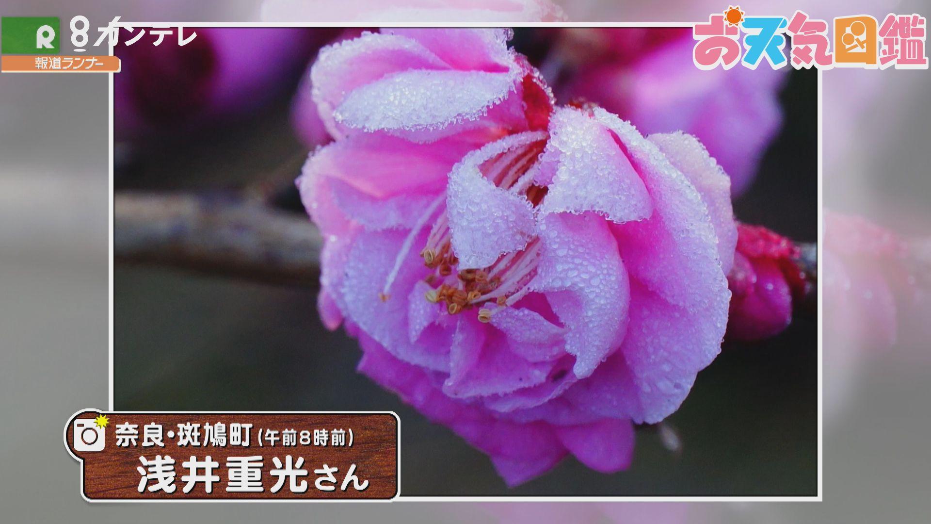 「紅梅に…美しい霜」(奈良県斑鳩町)