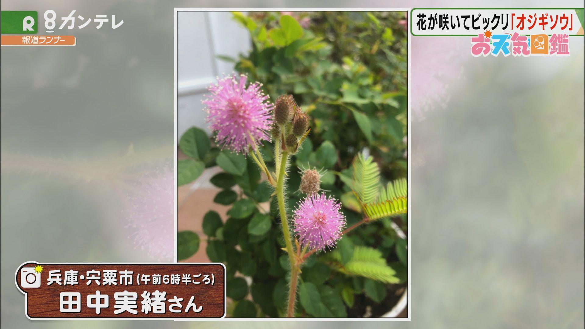 「フワフワ!おじぎ草の花」(兵庫・宍粟市)