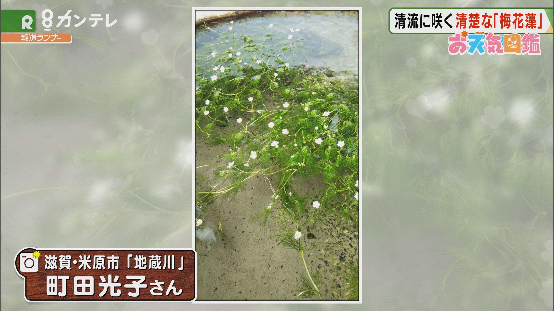 「清流に咲く梅花藻」(滋賀・米原市)
