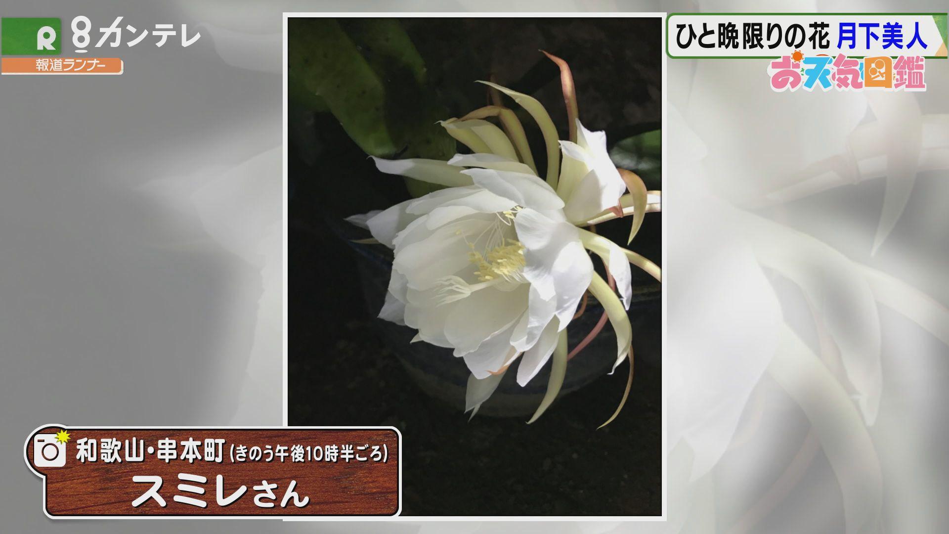 「一夜限りの花 月下美人」(和歌山・串本町)