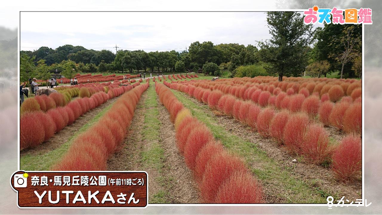 「コキアを見に行きました」(奈良県)