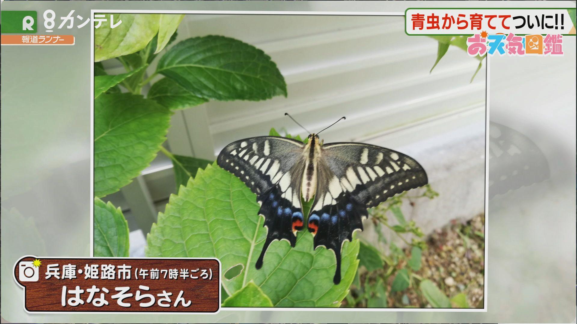 「長男と誕生日が一緒のキアゲハ」(兵庫・姫路市)