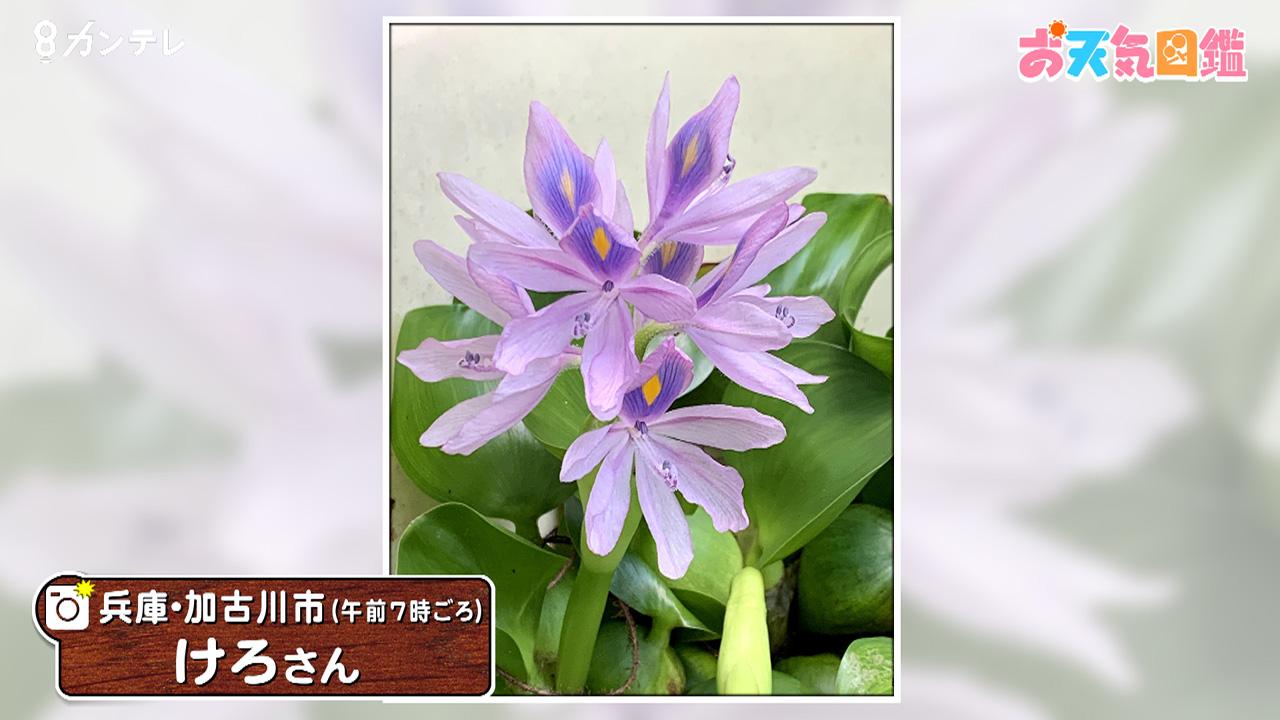 「はかなく美しいホテイソウの花」(兵庫・加古川市)