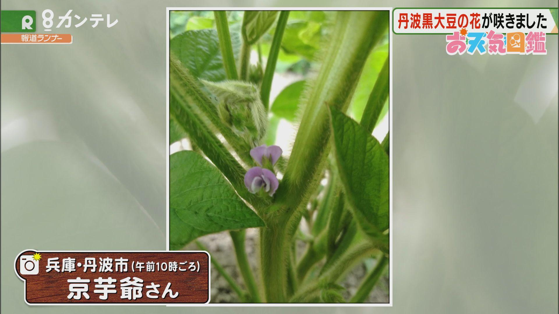 「丹波黒大豆」(兵庫・丹波市)