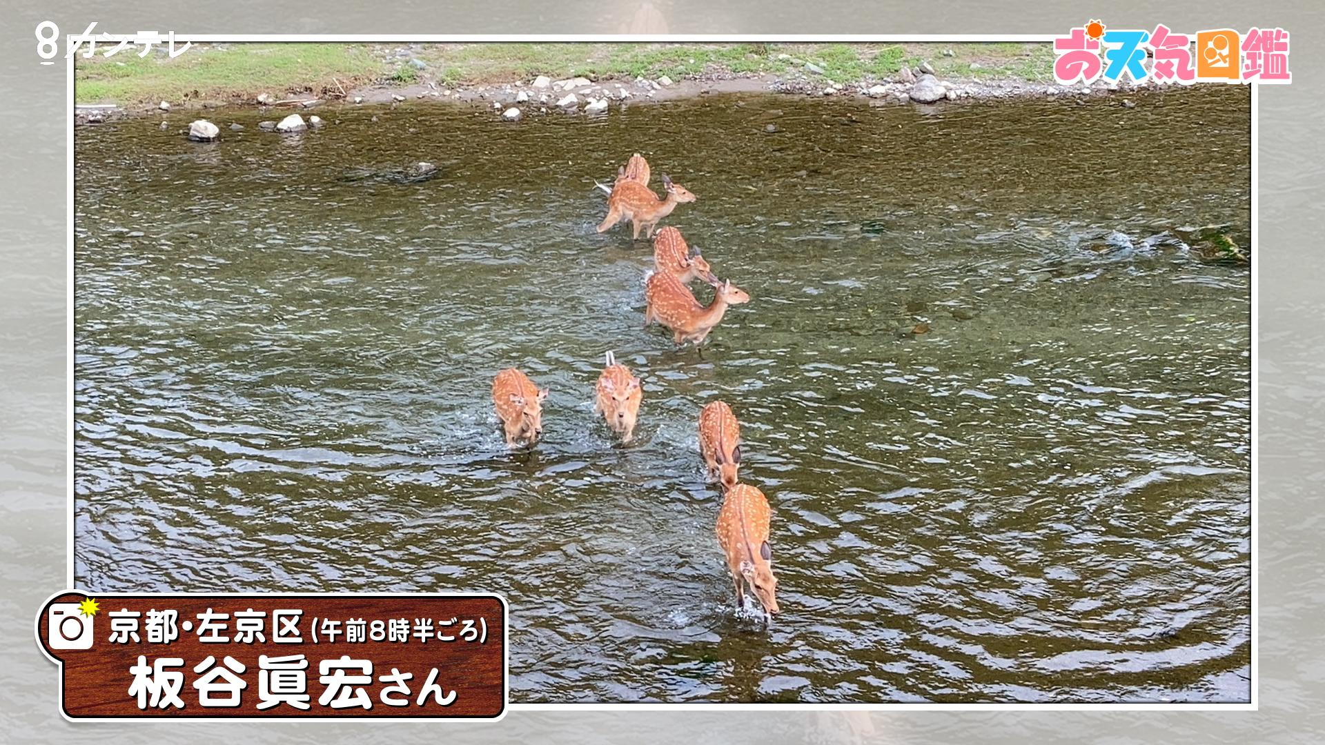 「シカも暑さ限界?」(京都市)