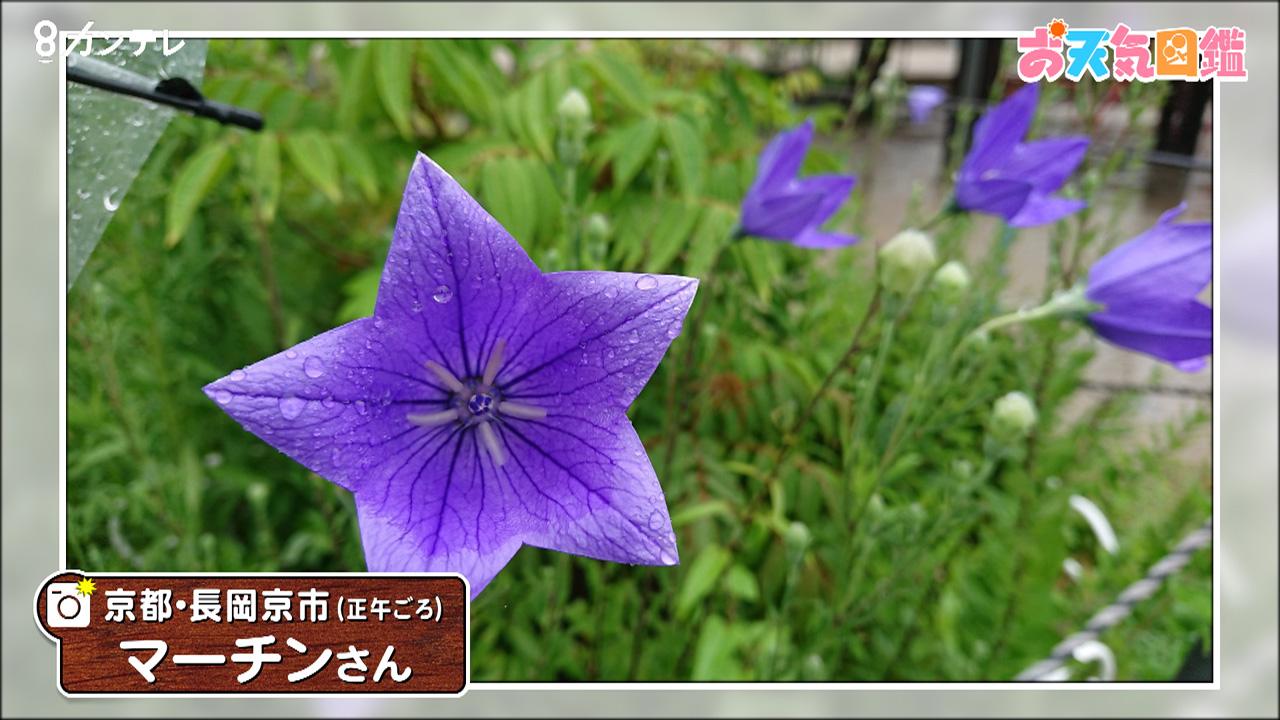 「雨が似合うキキョウの花」(京都・長岡京市)