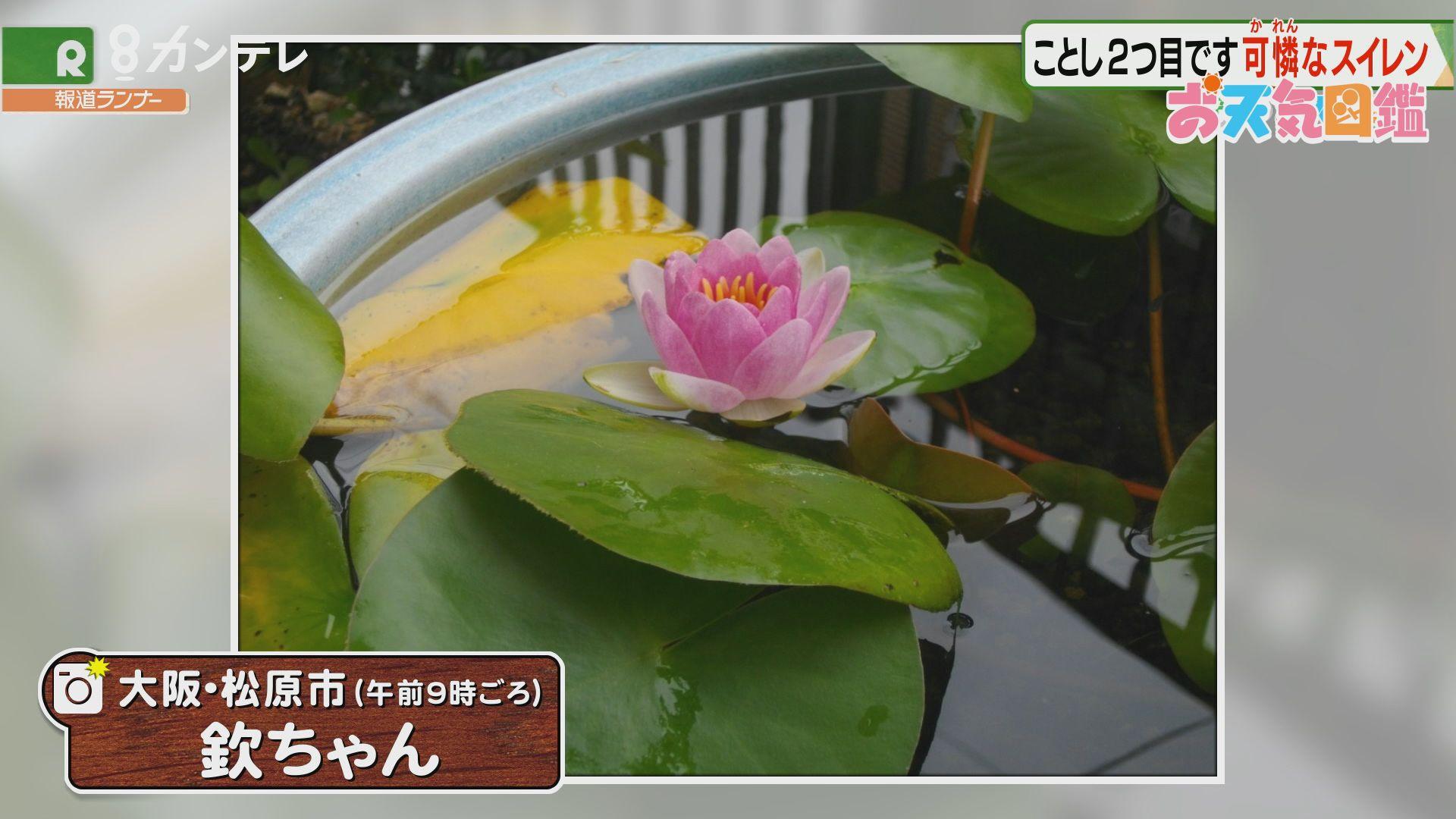 「可憐なスイレン」(大阪・松原市)