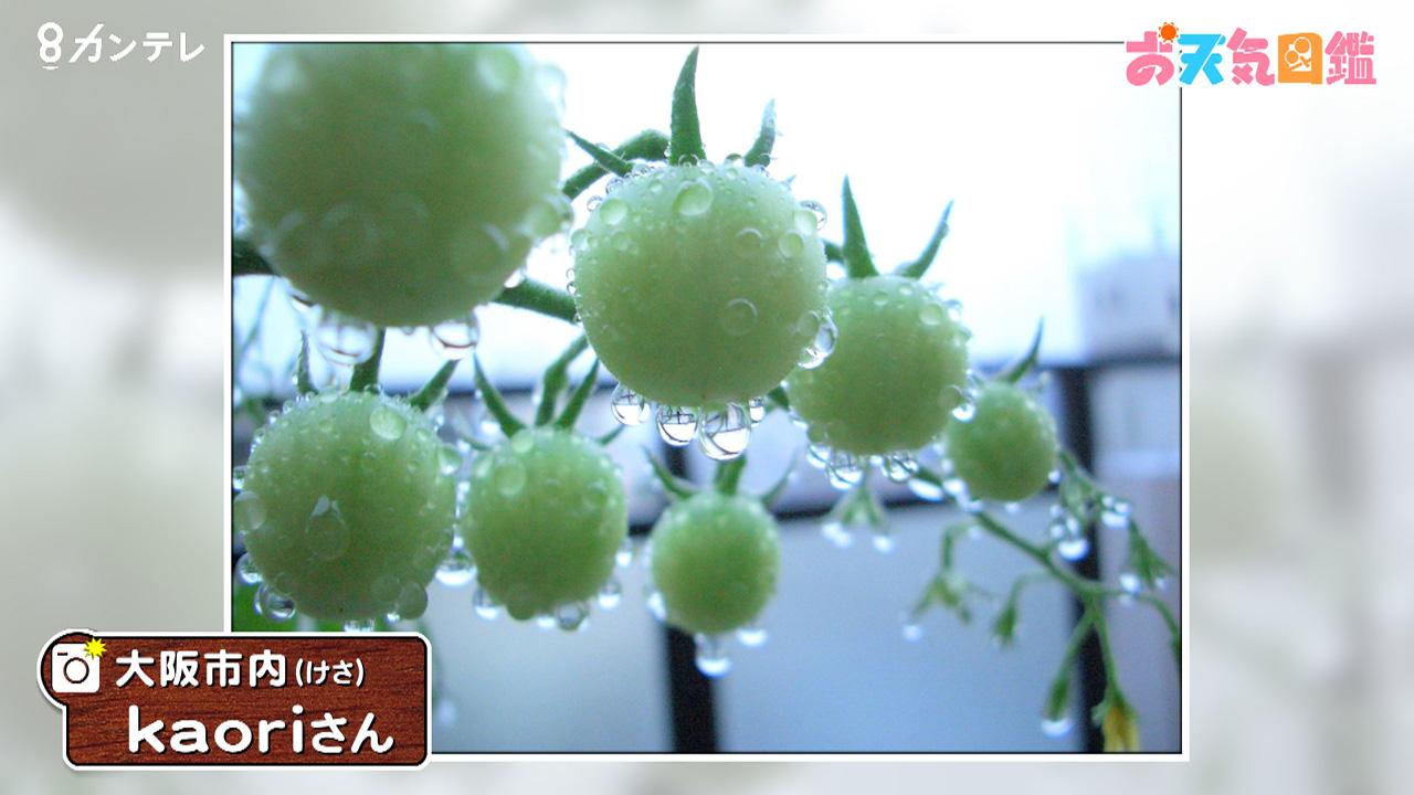 「収穫が待ち遠しいミニトマト」(大阪市)