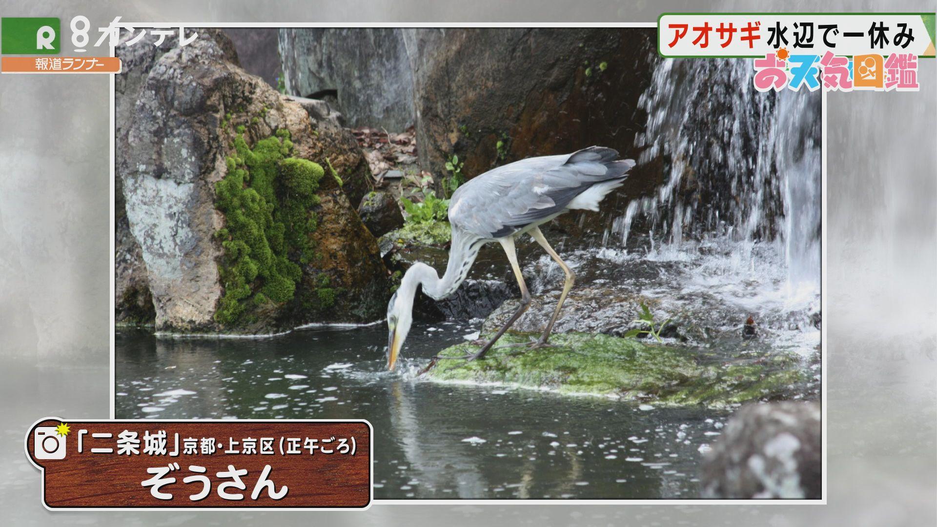 「二条城のアオサギ」(京都市)