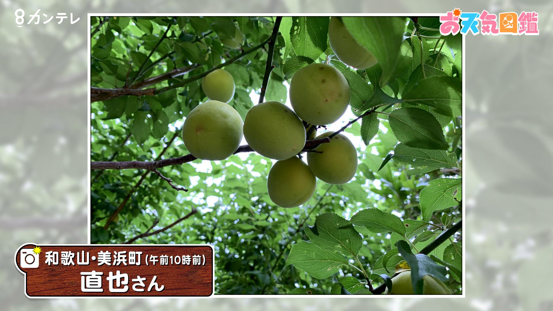 「梅雨入り前に慌てて収穫」(和歌山・美浜町)