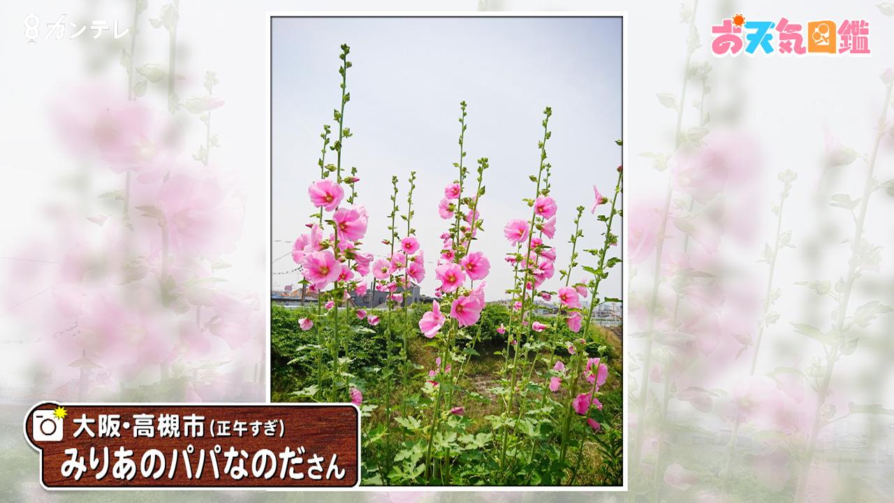 「下から上へ咲くタチアオイ」(大阪・高槻市)