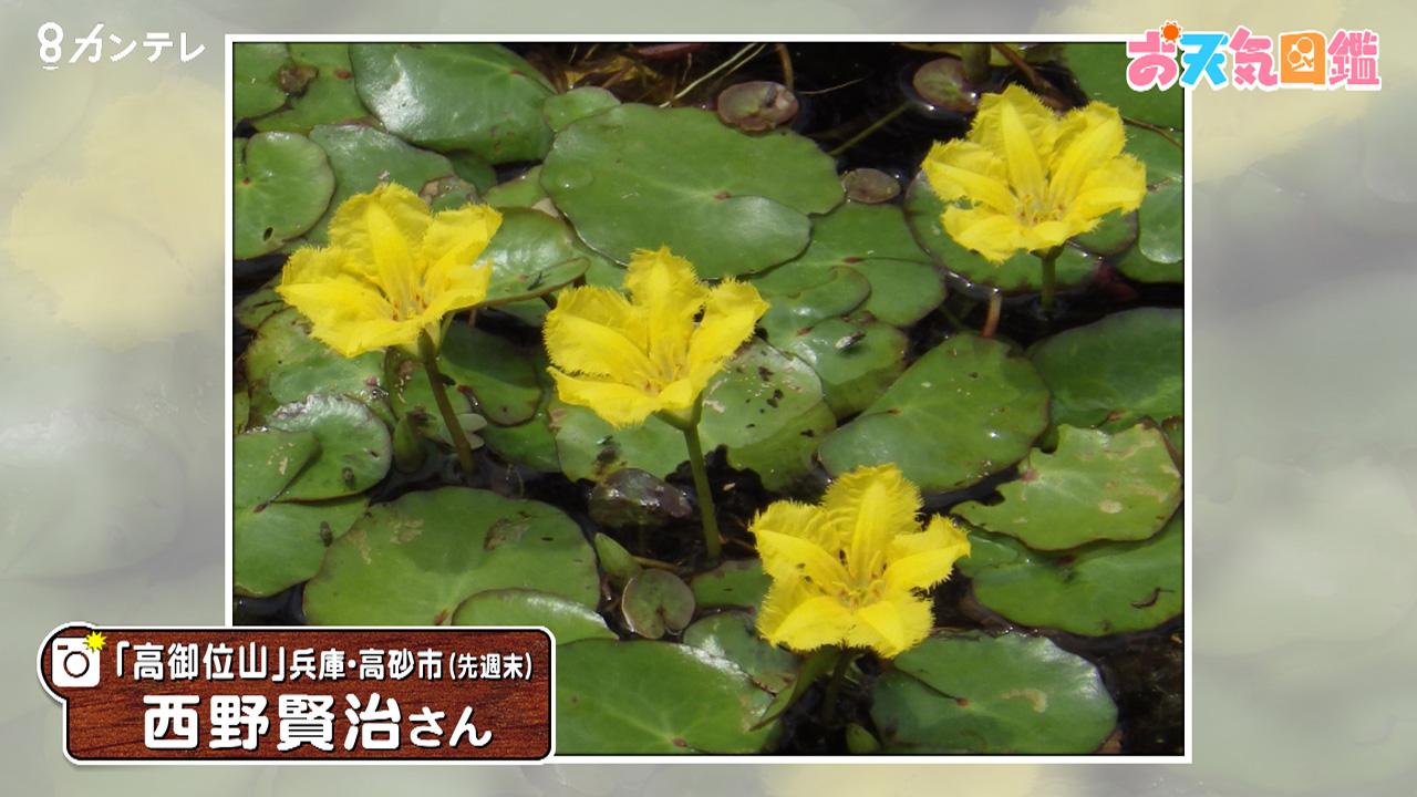 「アサザの花」(兵庫・高砂市)