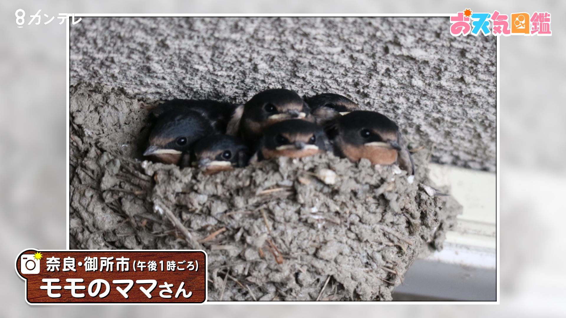 「ヒナ6羽、ギュウギュウ」(奈良・御所市)