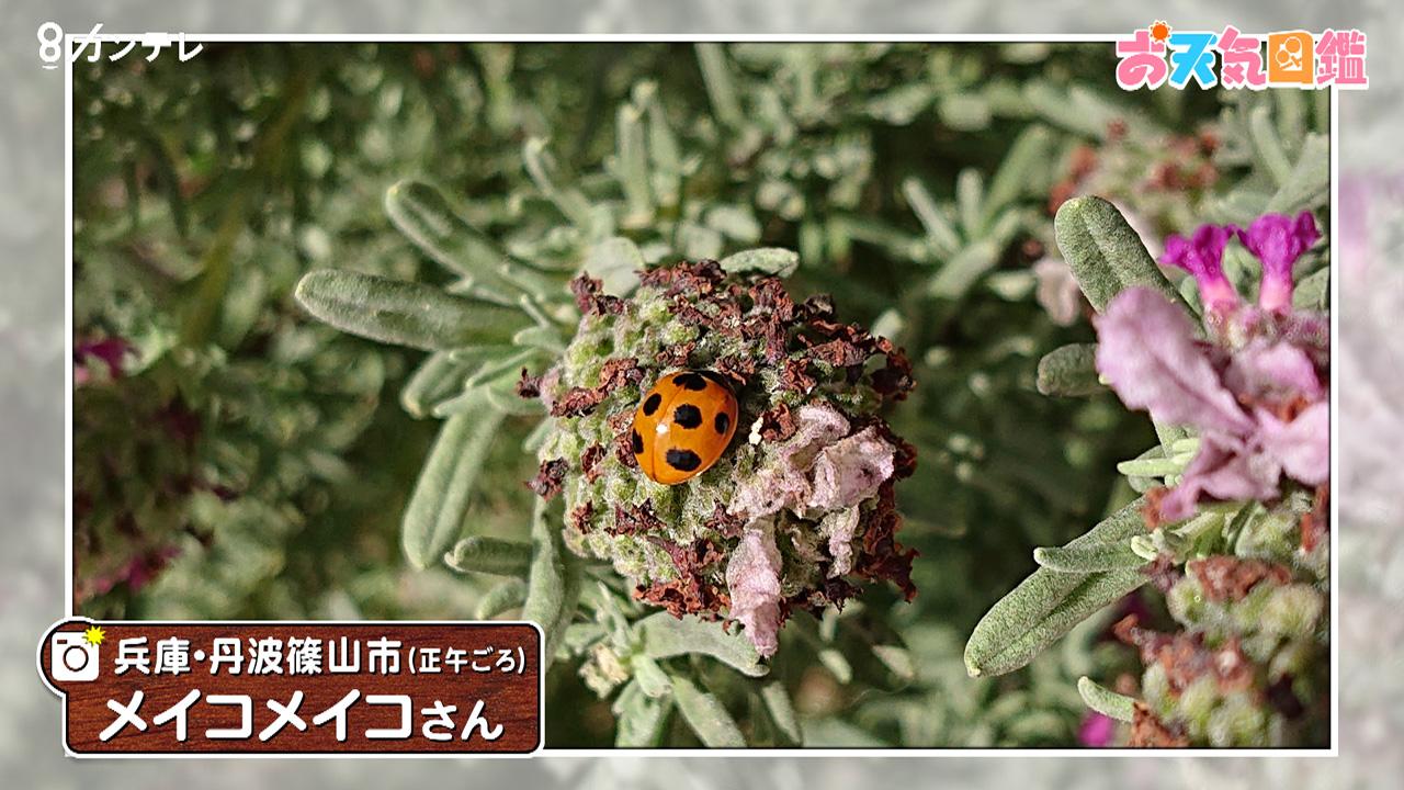 「てんとう虫とラベンダー」(兵庫・丹波篠山市)