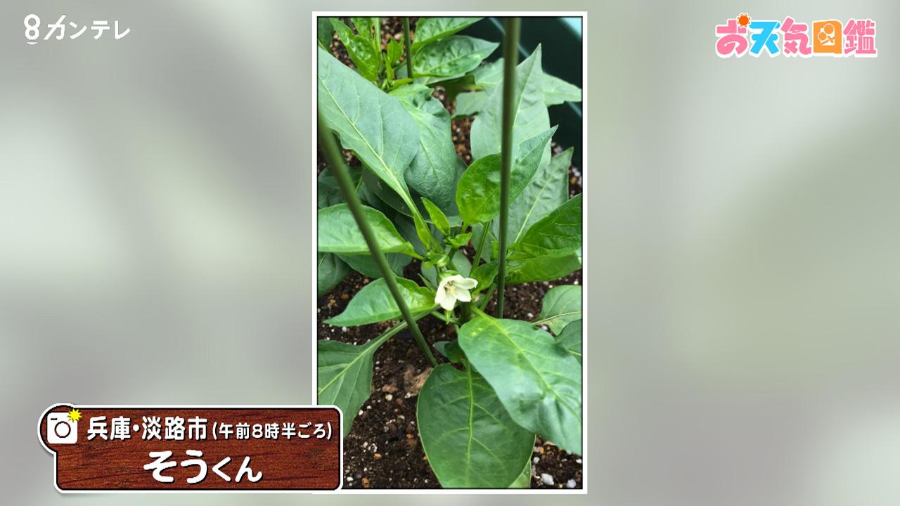 「ピーマンの花」(兵庫・淡路市)