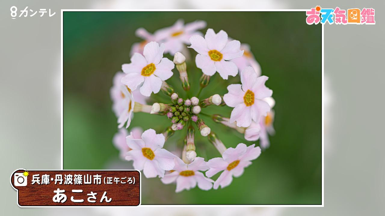 「母の自慢の九輪草」(兵庫・丹波篠山市)