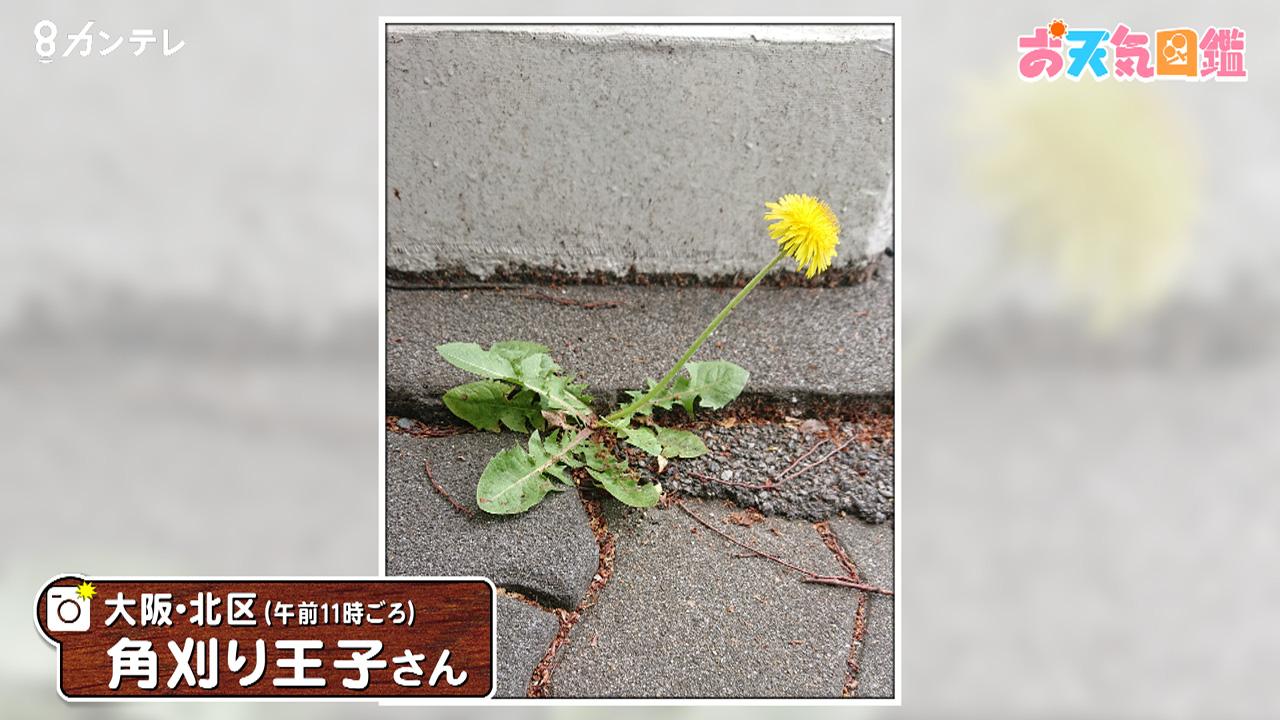 「ど根性タンポポ」(大阪・北区)