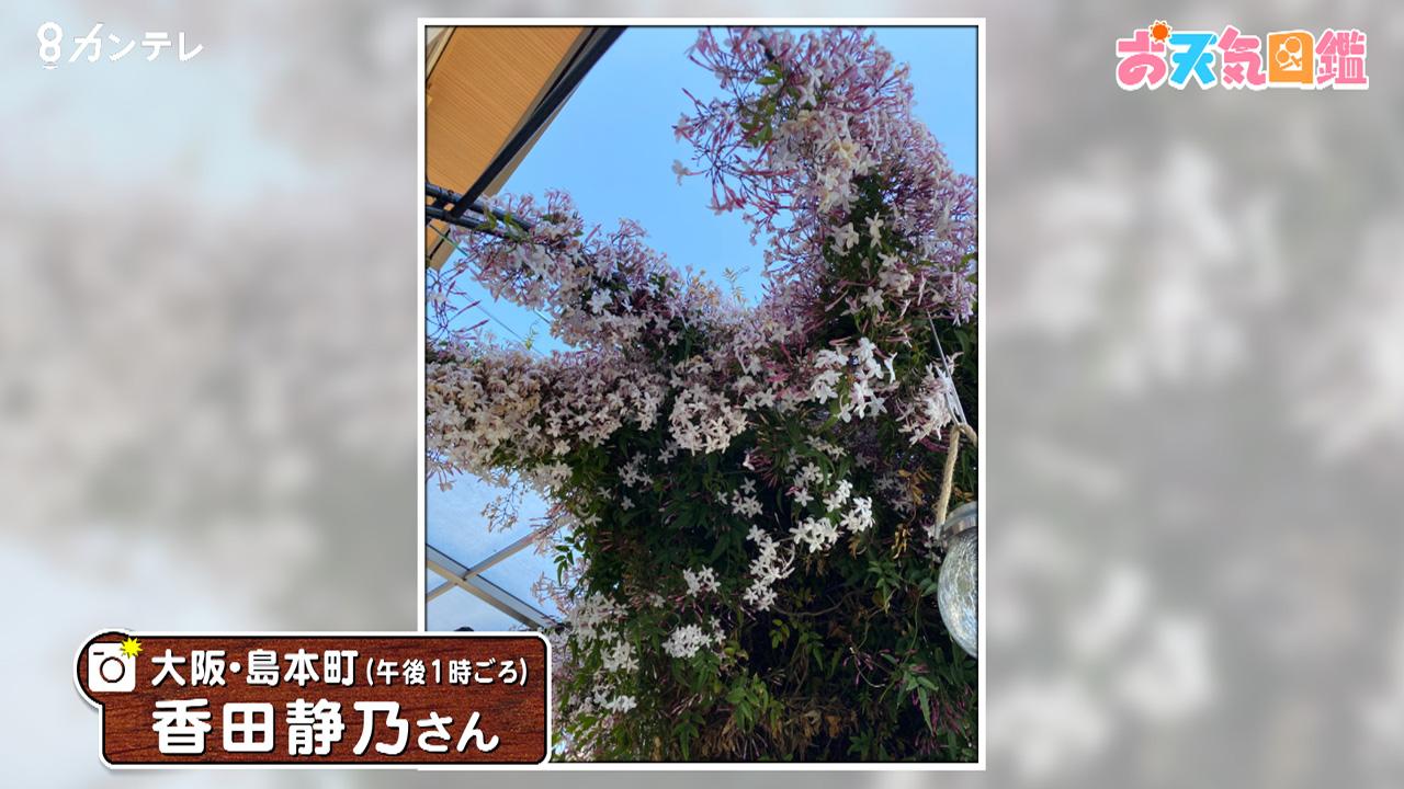 「芳香剤いらず?ジャスミンの花」(大阪・島本町)