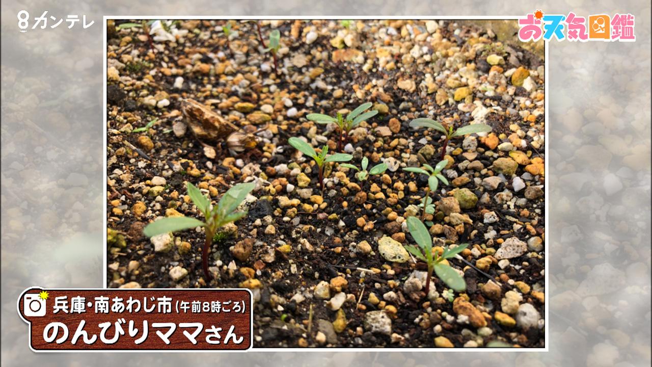 「マリーゴールドの芽」(兵庫・南あわじ市)
