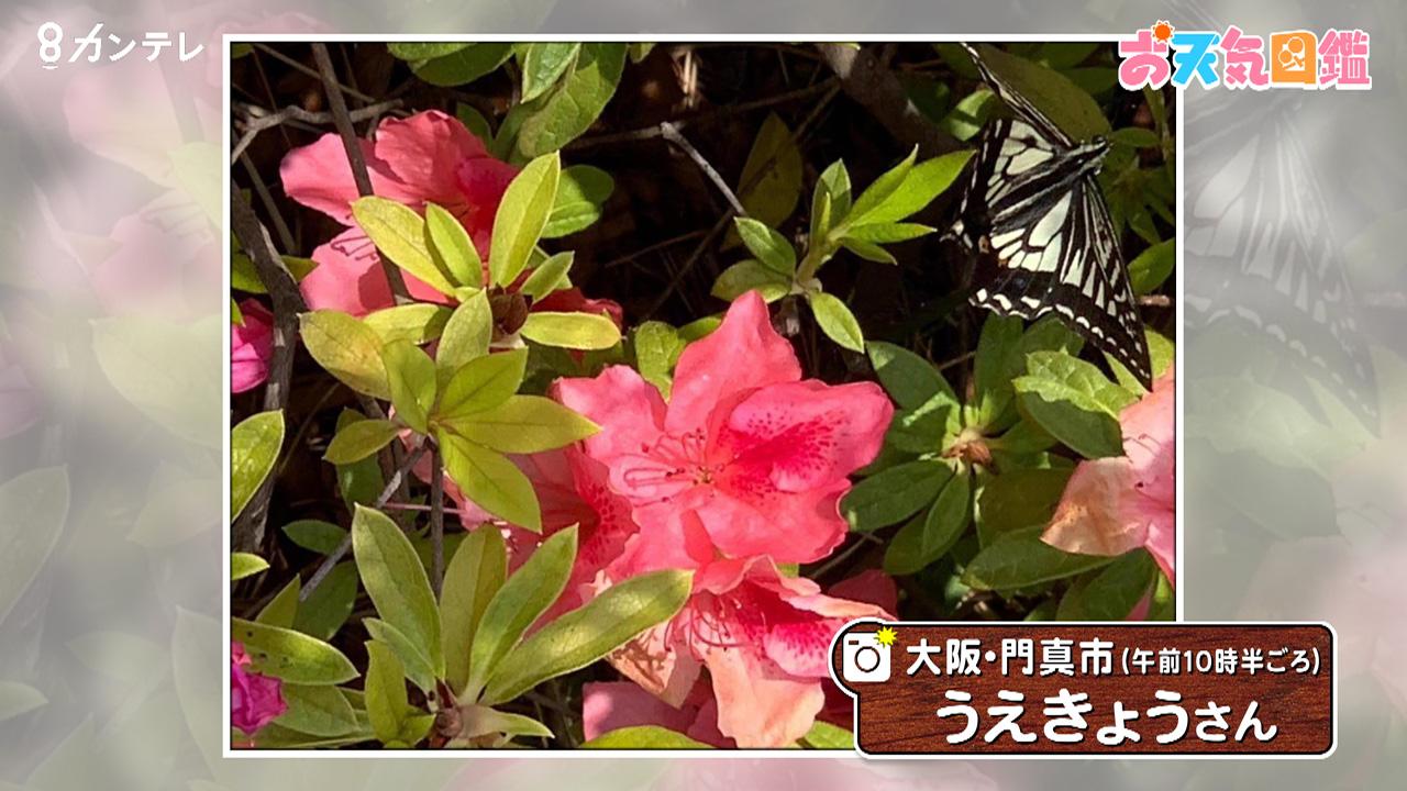 「ツツジとアゲハ蝶」(大阪・門真市)