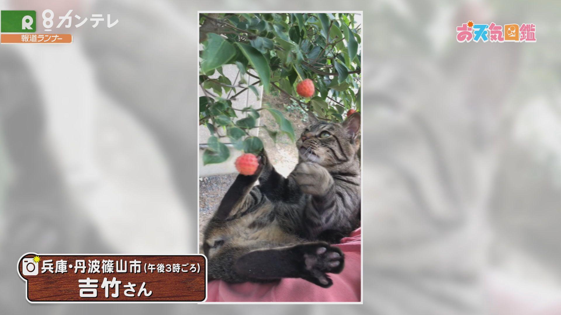 「ネコも夢中?ヤマボウシの実」(兵庫・丹波篠山市)