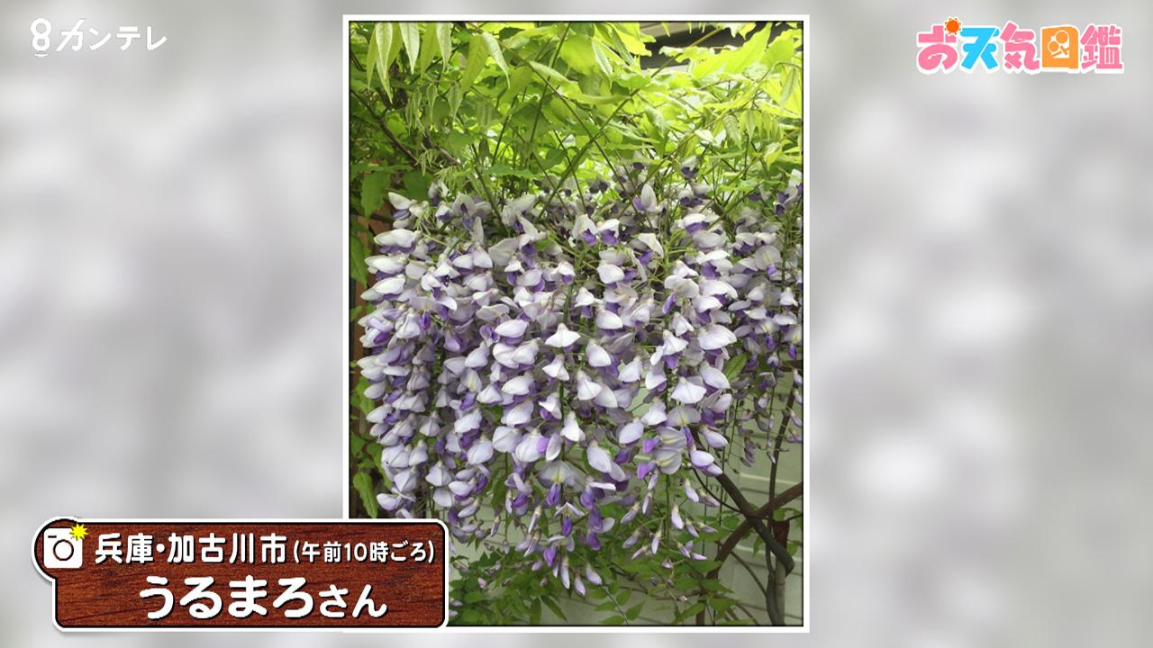 「フジの花が満開です」(兵庫・加古川市)