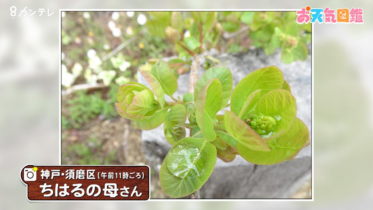 「スモークツリーの新芽」(神戸市)