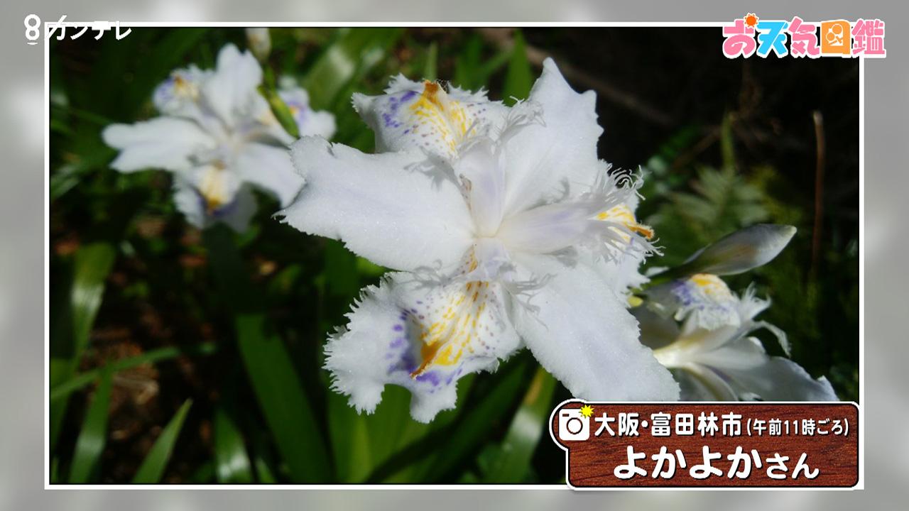 「たくましいシャガの花」(大阪・富田林市)