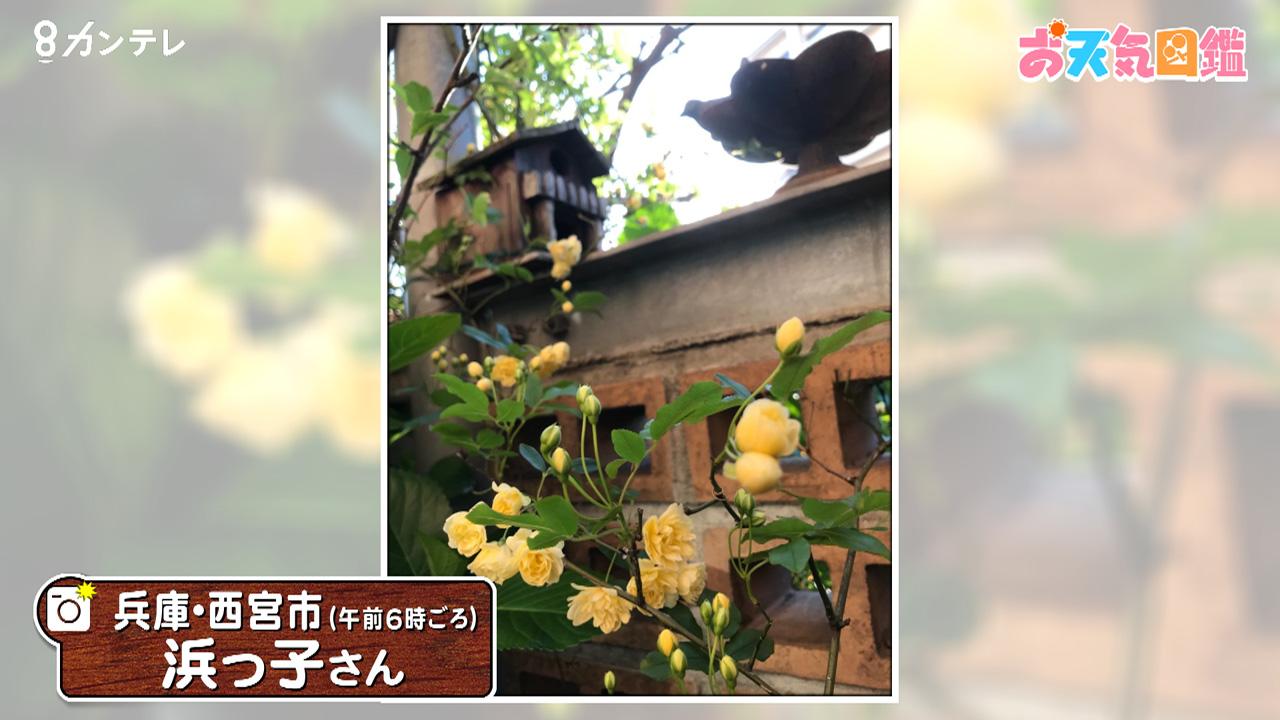 「黄色のバラが咲いた」(兵庫・西宮市)
