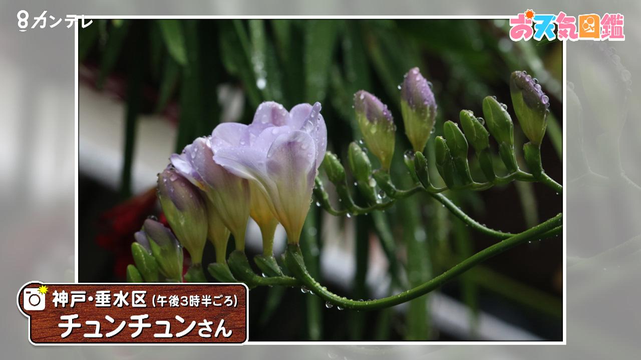 「フリージアの香りに癒されて」神戸市