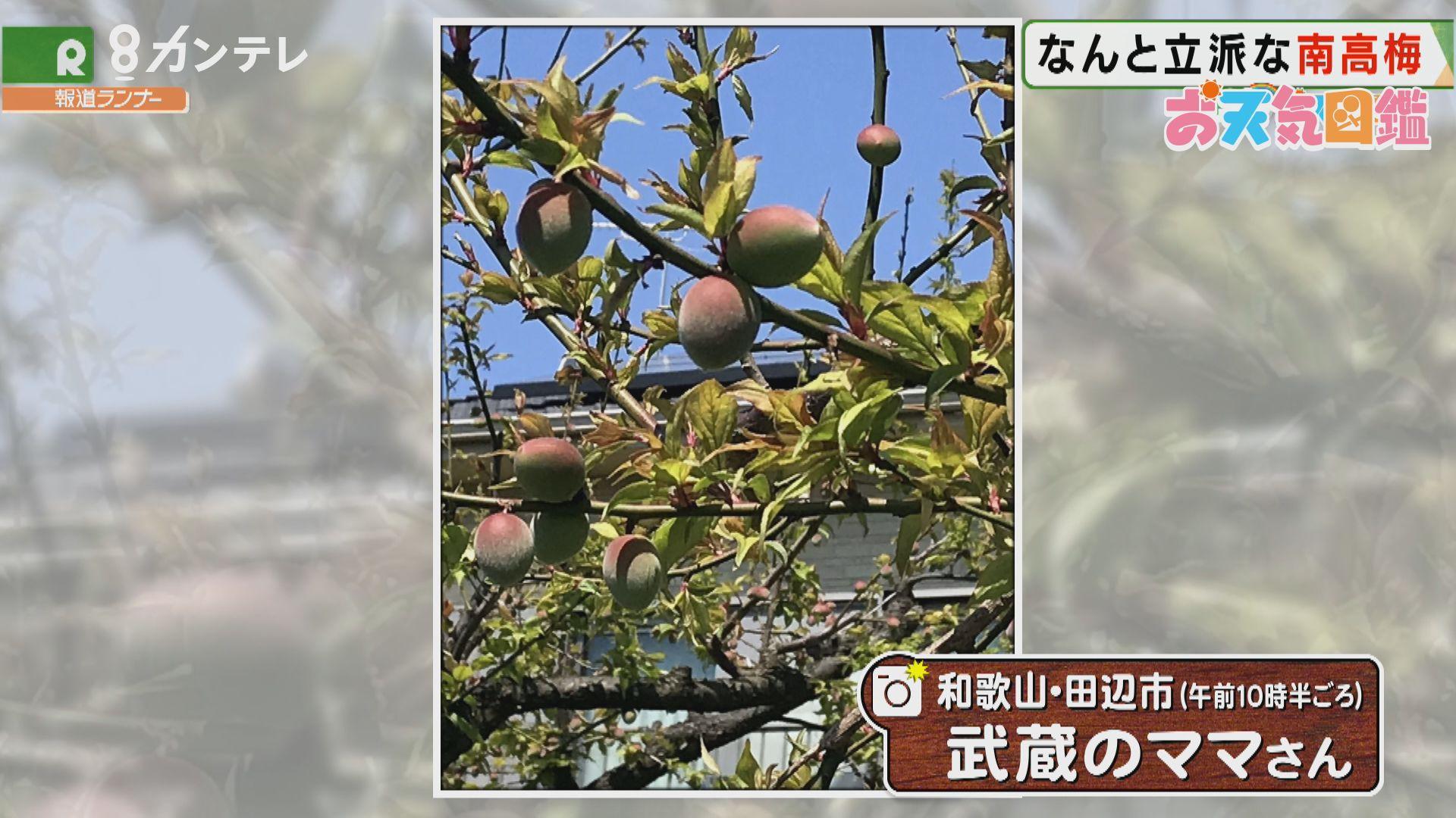 「なんと立派な梅の実」(和歌山・田辺市)