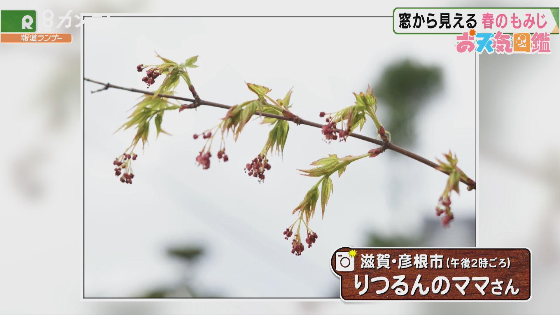 「紅葉の花」(滋賀県・彦根市)