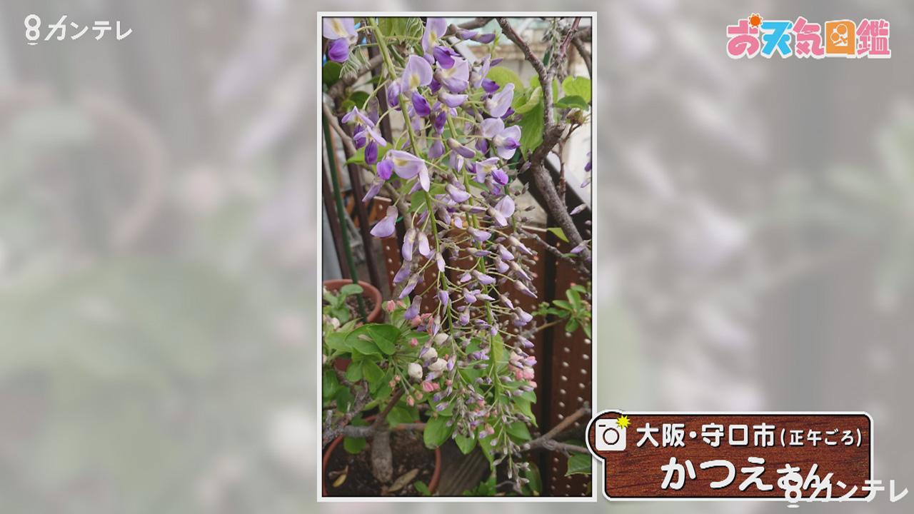 「一足も二足も早く…藤の花が開花」(大阪・守口市)