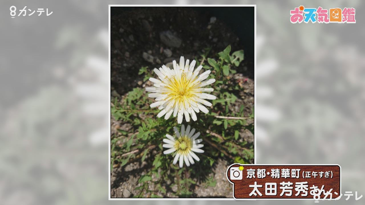 「白いタンポポ」(京都府精華町)