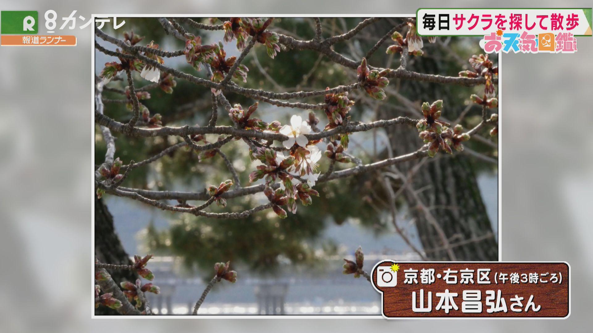 「サクラを探して散歩」(京都・嵐山)