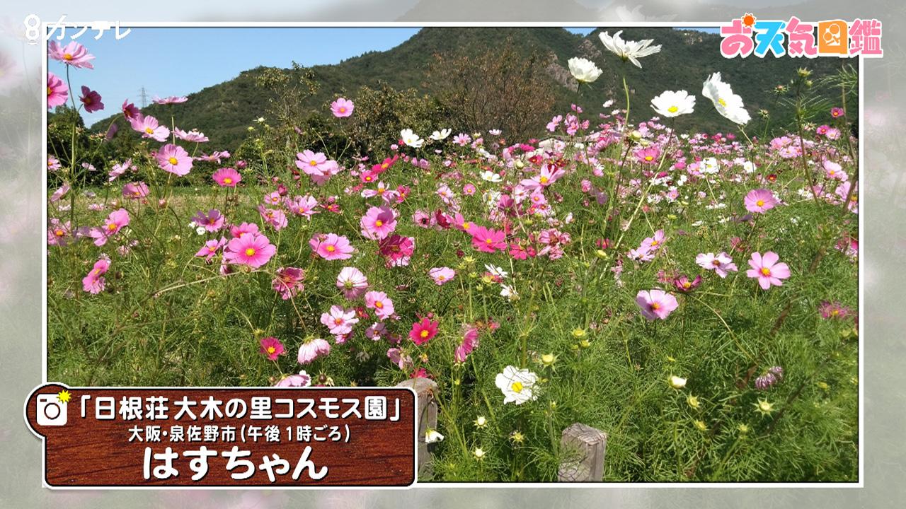 「美しい農村のコスモス」(泉佐野市)