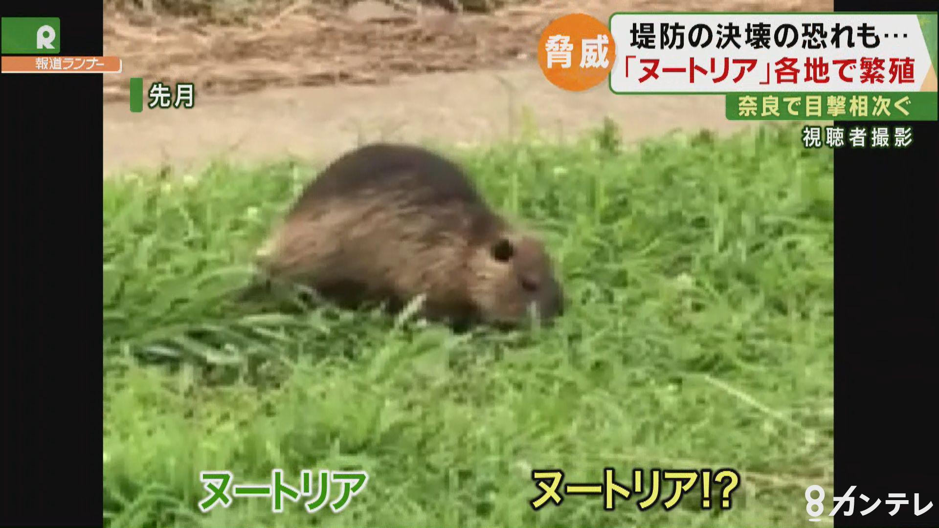 奈良県の川で『ヌートリア』!? 目撃相次ぐ 堤防を決壊させる深刻な被害も…