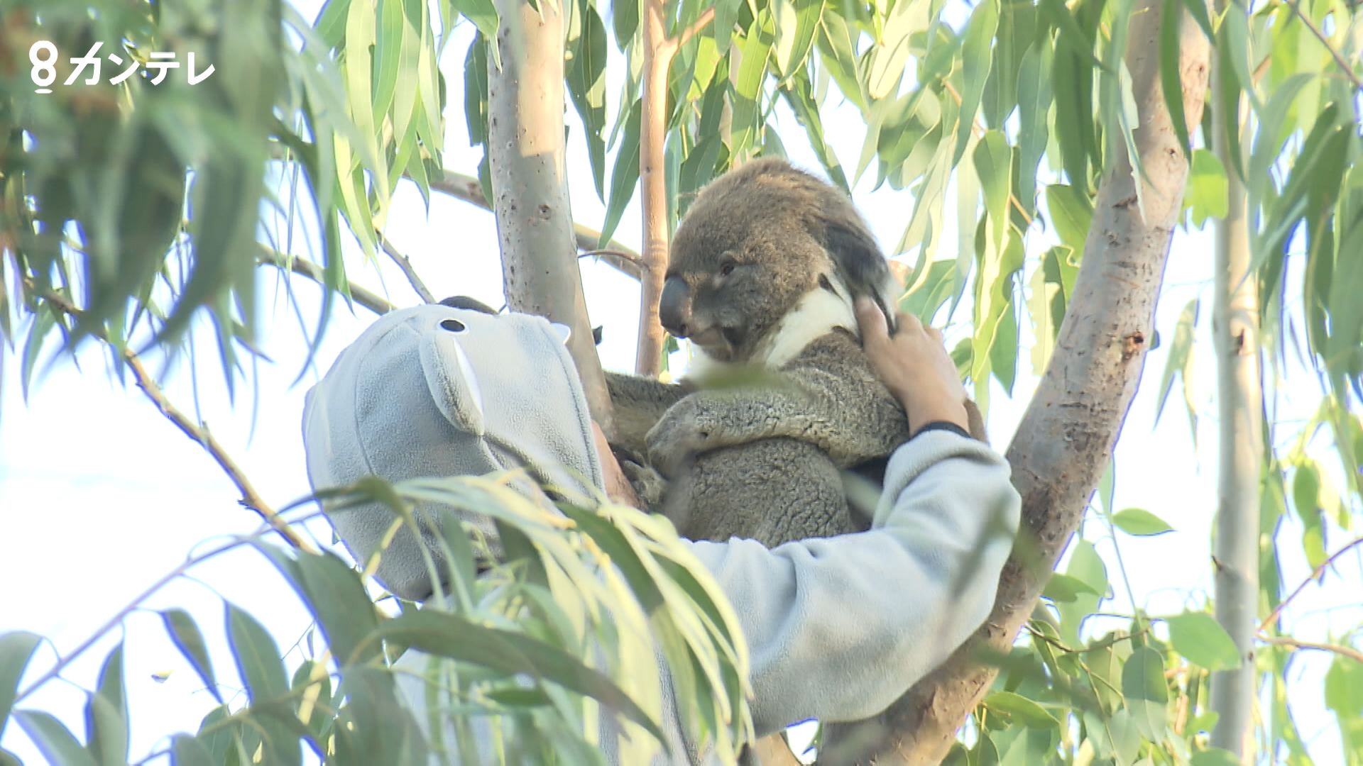 【特集】さよなら、コアラの「アーク」 動物園での最後の日…アークが見せた「ある行動」に訪れた人も涙