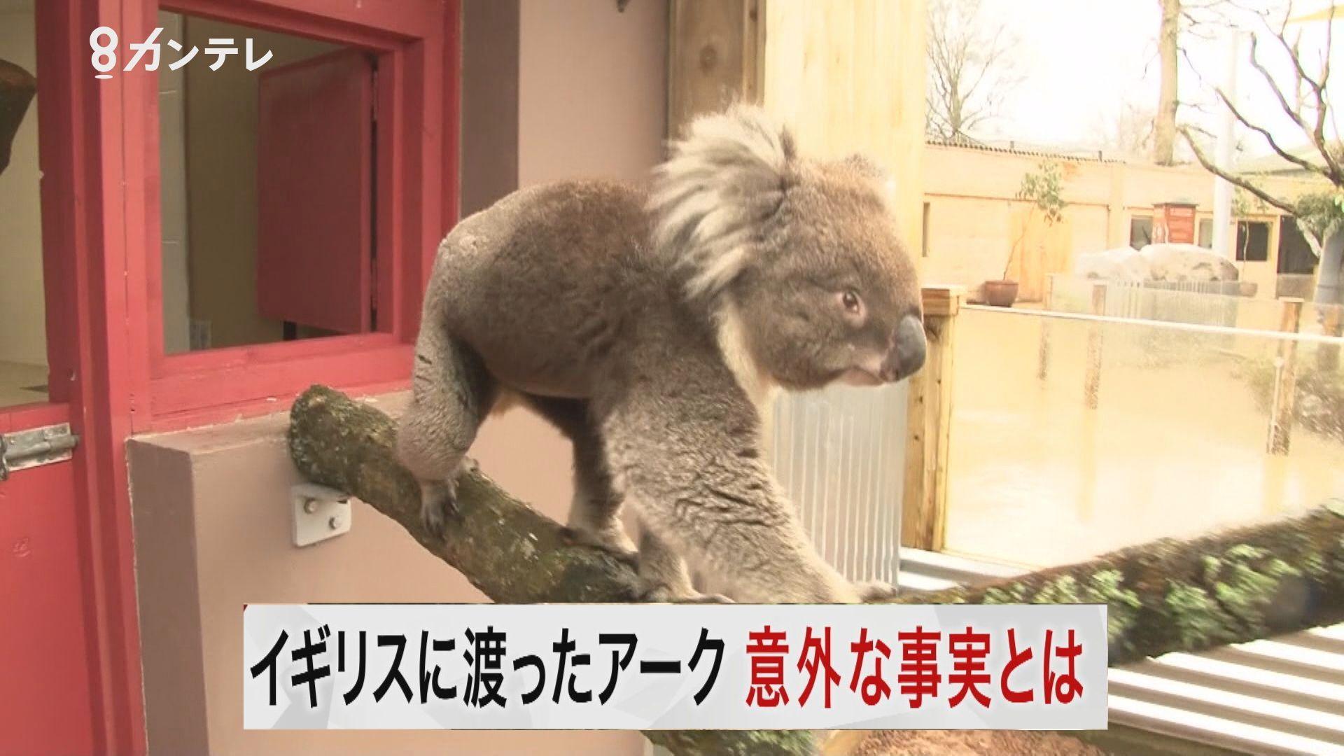【特集】大阪唯一のコアラだった「アーク」、イギリスに渡り…まさかの改名?お嫁さん候補も3頭!現地をツイセキ取材!