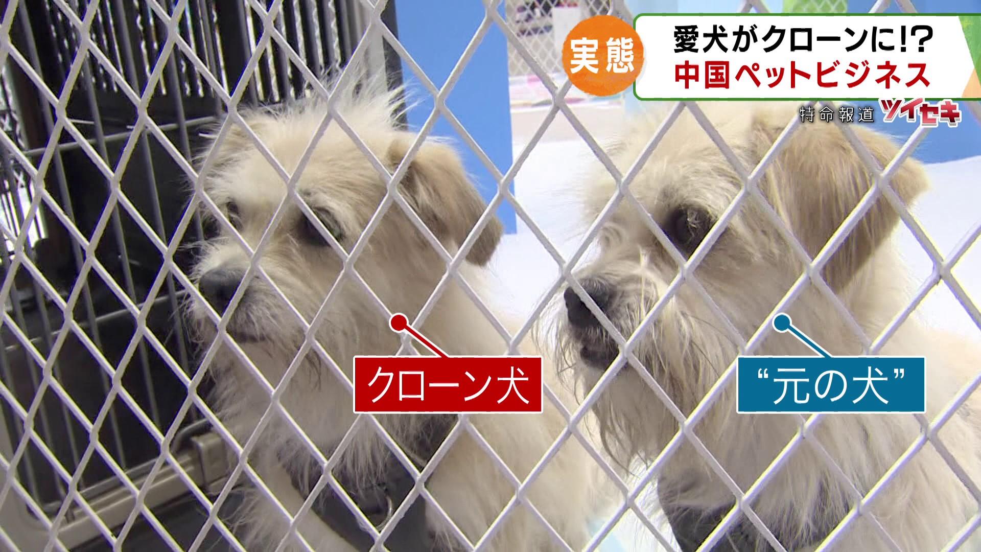 """""""死んだ愛犬の細胞""""から作られた、そっくりな犬…「クローンペット」が中国で増加。優秀な犬のクローンは"""