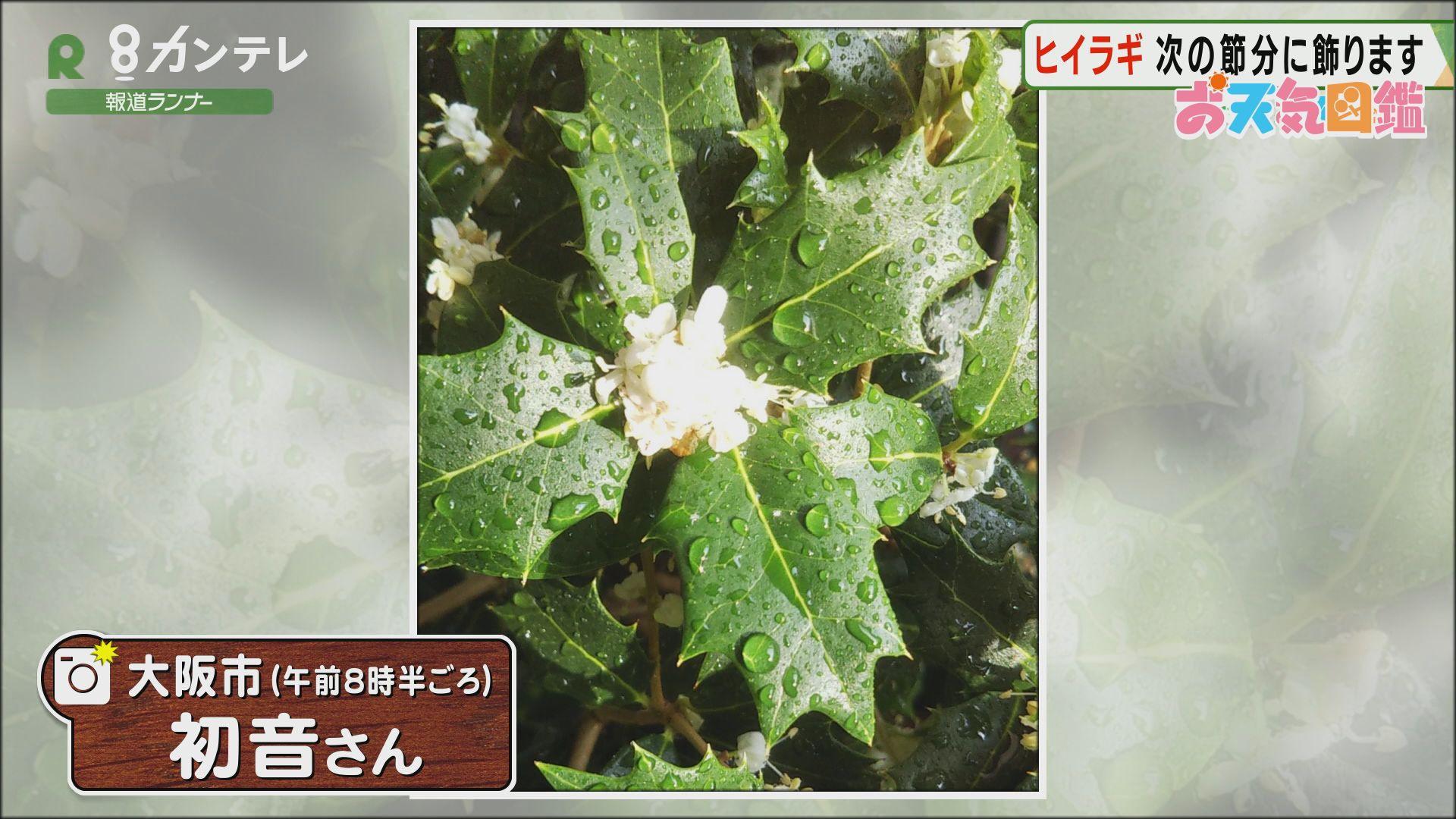 「節分飾りに…ヒイラギの花」(大阪市)