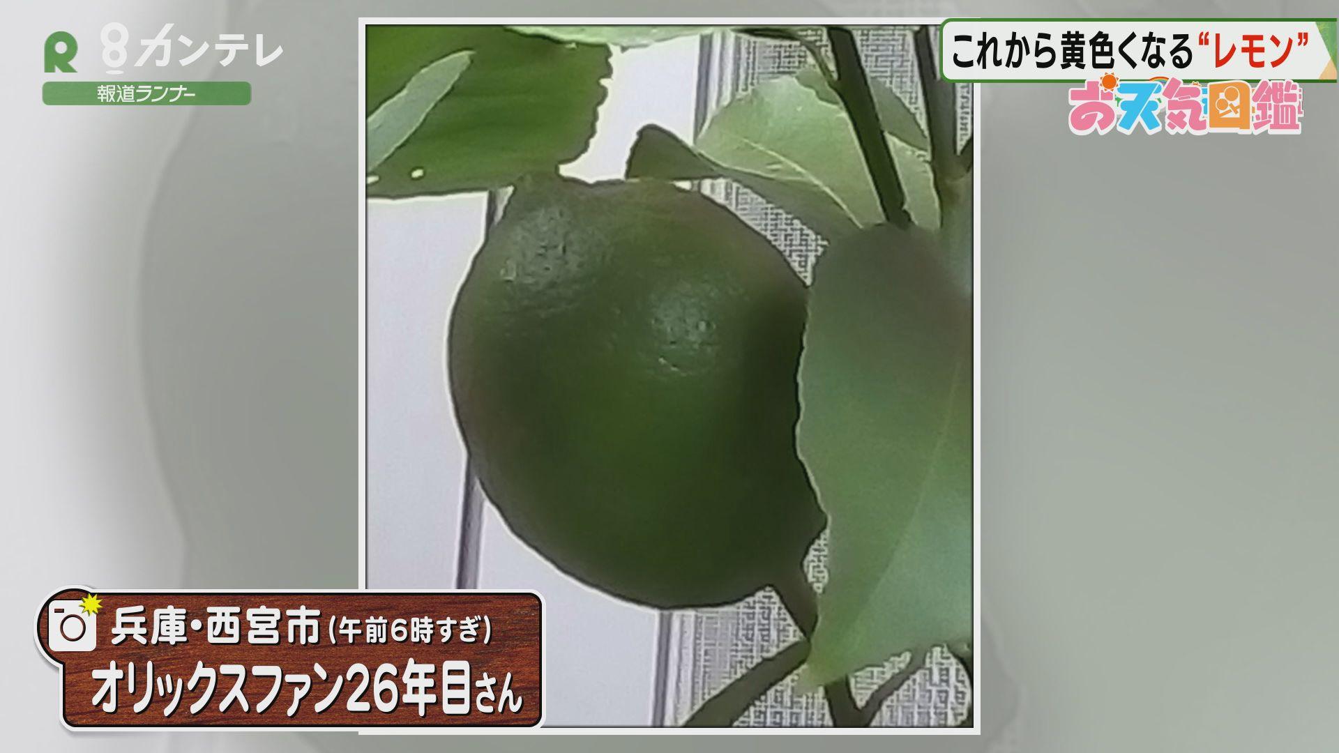 「レモンの旬は?」(兵庫・西宮市)