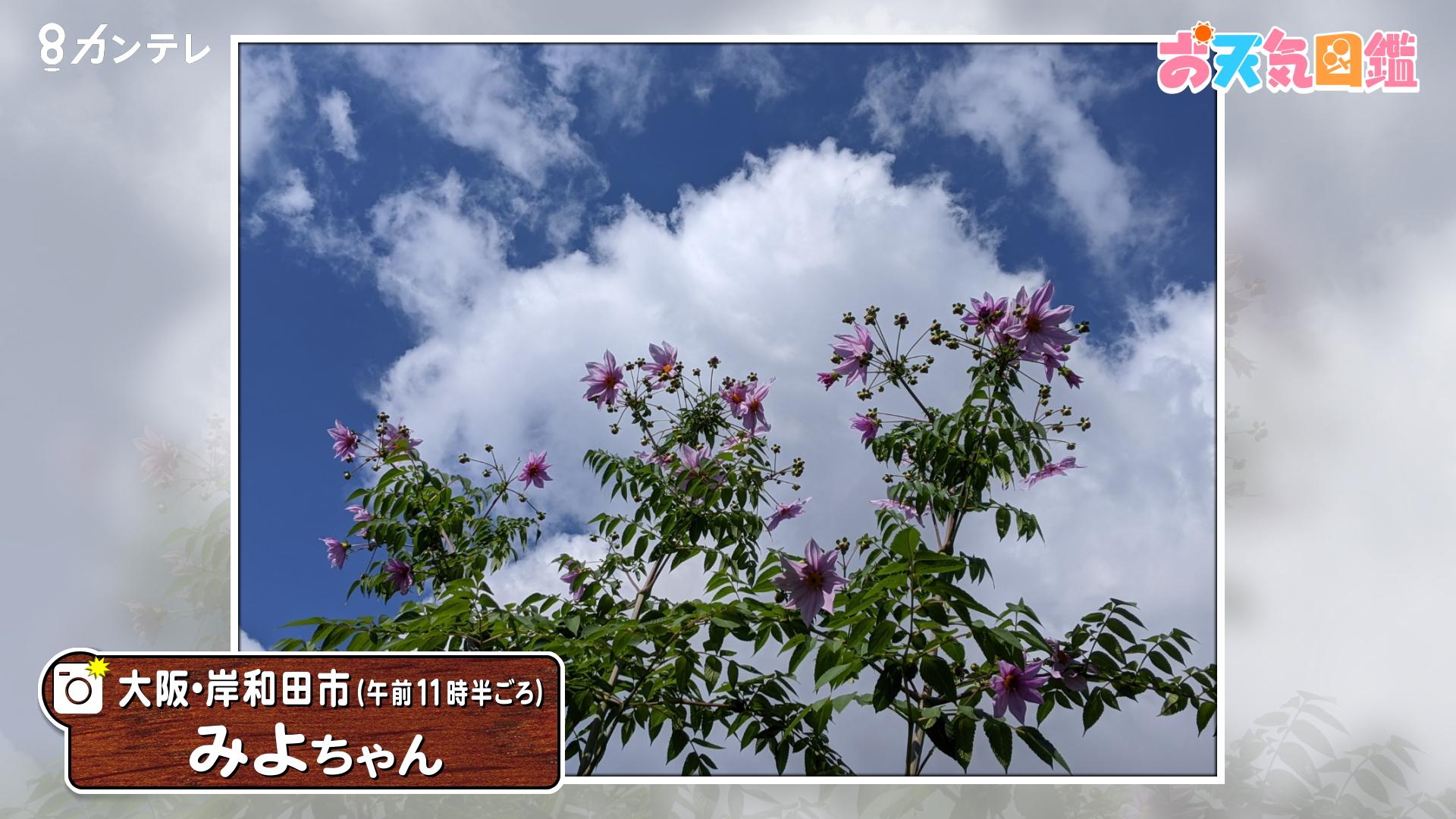 「青空に映える『皇帝ダリア』」(大阪・岸和田市)